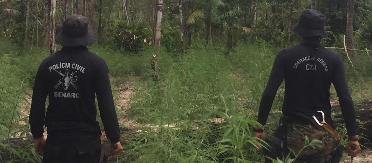 Polícia Civil combate cultivo de maconha no interior do Maranhão